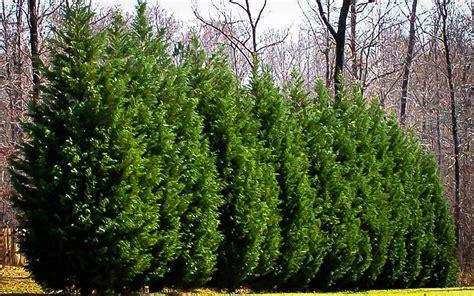 planting leyland cypress trees  tree center