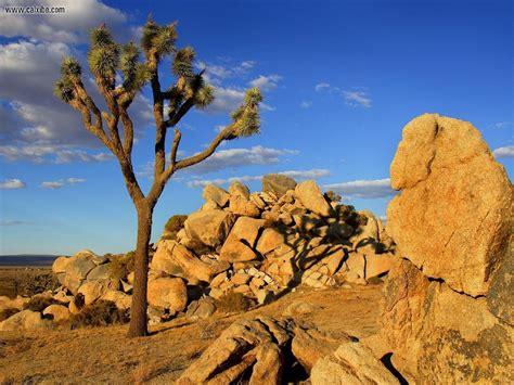 nature joshua tree mojave desert littlerock california picture nr 16305