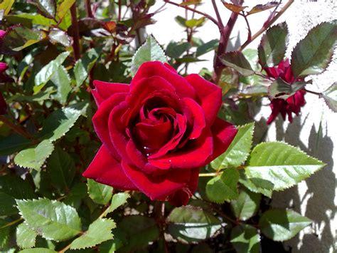 imagenes de rosas jardin rosas anica s blog