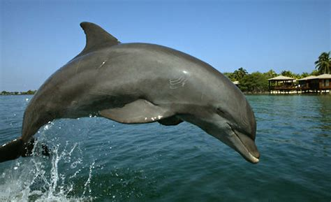 india moves  block dolphin shows citing cruelty   york times