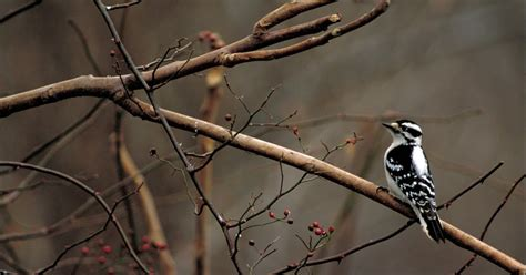 wild birds unlimited downy woodpeckers do not migrate
