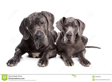 grey great dane puppies two grey great dane dogs stock images image 20989654