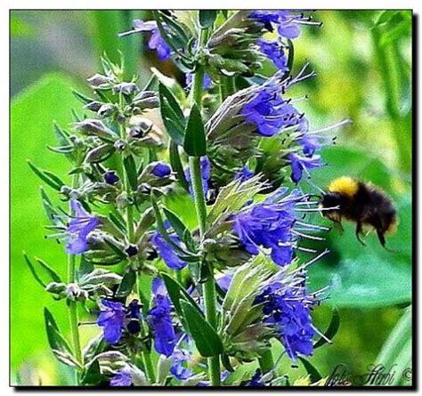 Ysop Pflege ysop hyssopus officinalis pflanzen enzyklop 228 die