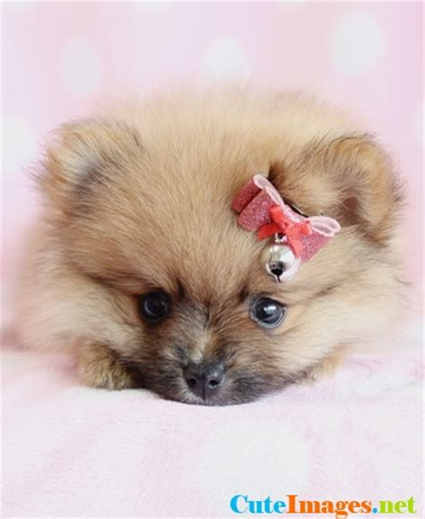 clipped pomeranian puppies for sale fluffy clipped pomeranian puppy animals wildlife species breeds