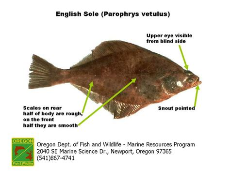 The Blind Side Part 1 Odfw Finfish Species Flatfish