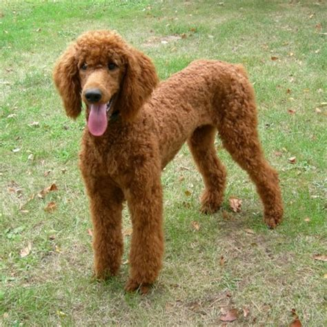poodles long hair in winter 17 best images about poodles on pinterest poodles boy