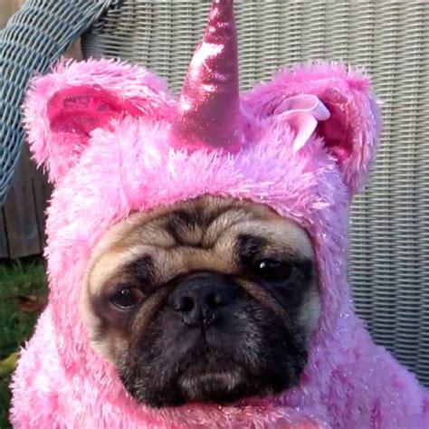 unicorn pug pug unicorn i find this