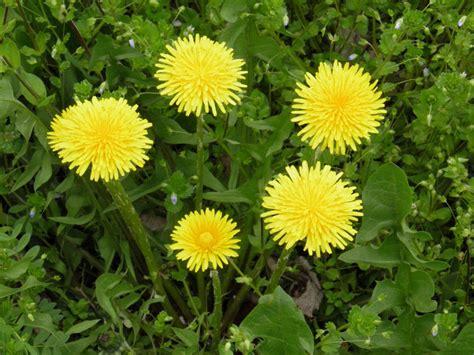 fiori selvatici gialli fiori gialli per verruche gpsreviewspot