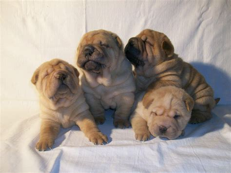 sharpay puppy sitting shar pei puppies photo and wallpaper beautiful sitting shar pei puppies pictures