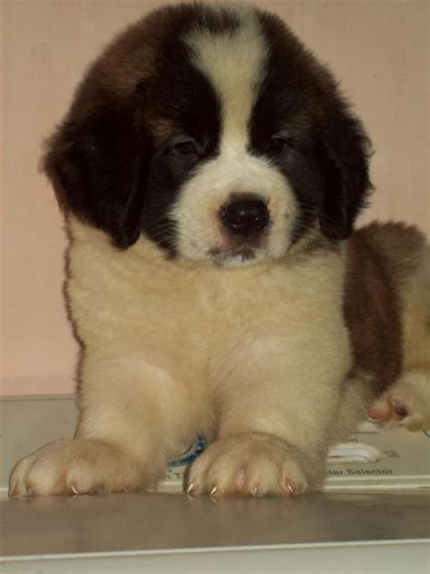 st bernard puppies price st bernard price in delhi 9650786888