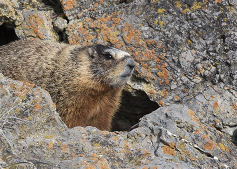 groundhog day utah yellow bellied marmots on groundhog day mcpherson s