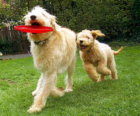 great doodle puppies for sale great doodle great danestandard poodle mix puppies for