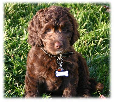 brown labradoodle puppy 17 best ideas about brown labradoodle on chocolate labradoodle golden