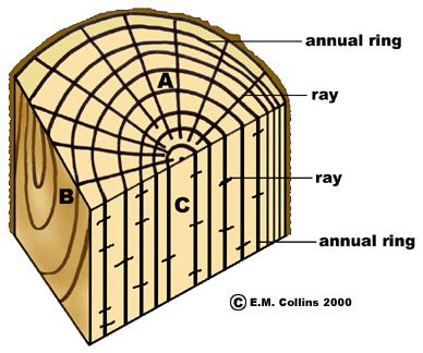 tangential section wood structure