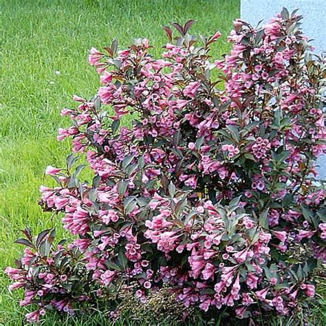 flowering shrub weigela weigelia weigela foliis purpureis plante en godet