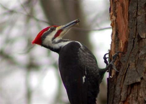 top 28 what sound does a pileated woodpecker make the