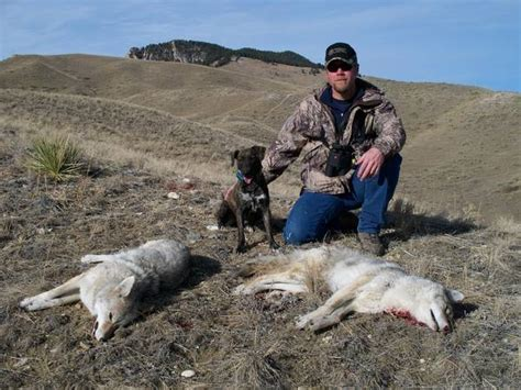 coyote with dogs dogs to hunt coyotes with 17 best images about dead dogs on deer gray 6