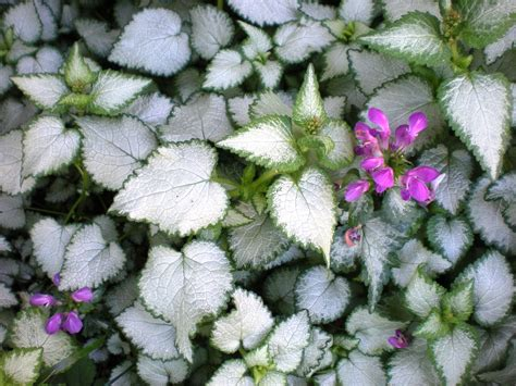 beacon silver lamium perennial ground cover for the shade