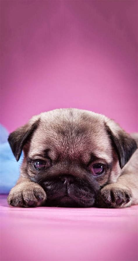 pug wallpaper iphone 6 pugs pug and wallpapers on