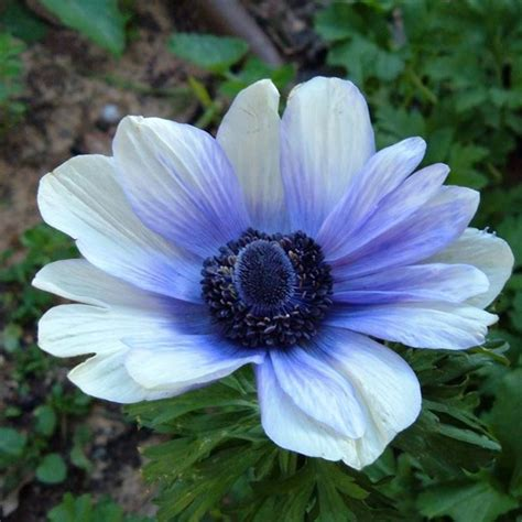 bulbi da fiore perenni anemone piante perenni