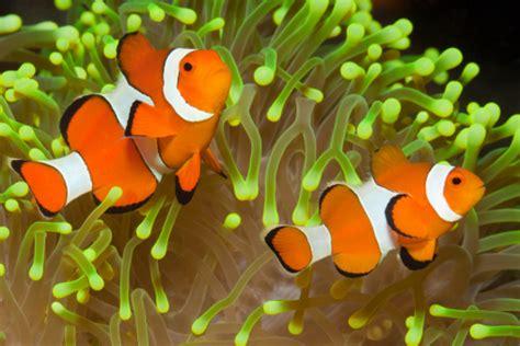 Hiasan Akuarium Coral Anemon S ikan badut clownfish adearisandi s