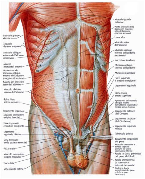 lacuna dei vasi guaina dei muscoli retti dell addome medicinapertutti it