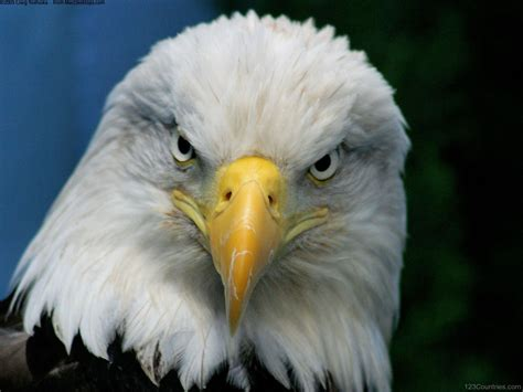 national bird of united states bald eagle 123countries com