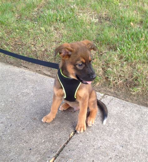 rottweiler heeler mix 25 best ideas about mutt puppies on names for puppies names