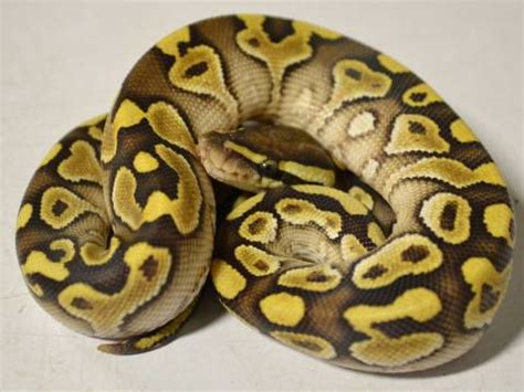 baby lesser yellow belly ball pythons  sale