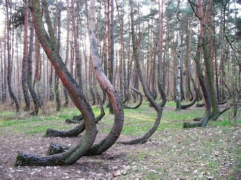 crooked forest poland crooked forest oversixty