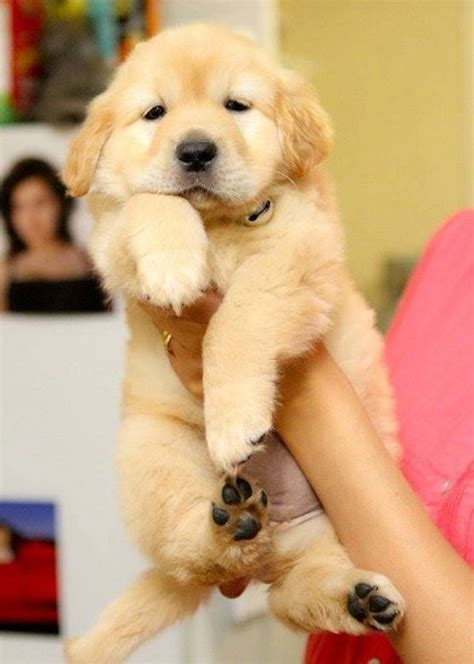 golden retriever puppies ta fl the cutest golden retriever puppies laughtard