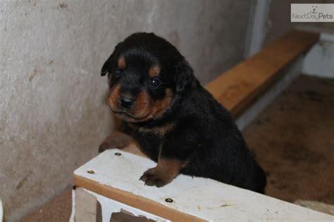 akc rottweiler akc german rottweiler rottweiler puppy for sale near lafayette west lafayette