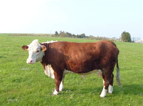 hereford cattle starburst herefords starburst herefords rough collies