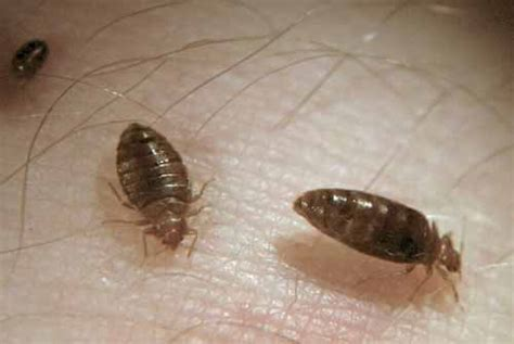 how large are bed bugs bed bug knowledge bed bug registry database