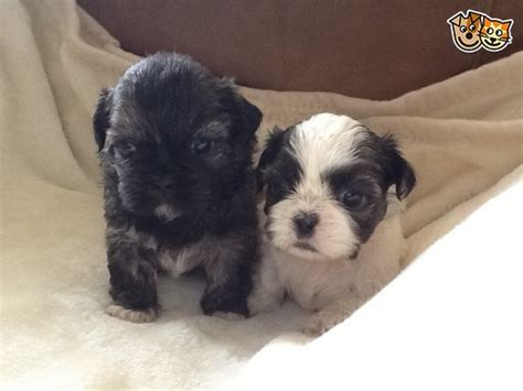 shih tzu puppies for sale in lincolnshire adorable pedigree shih tzu puppies for sale grantham lincolnshire pets4homes