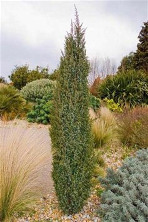 thuja occidentalis smaragd 994 thuja occidentalis smaragd smaragd tuja kert