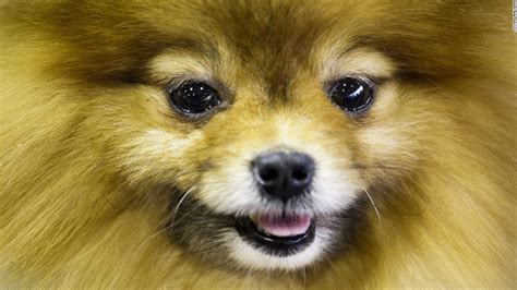 show dogs westminster show california journey wins top prize cnn