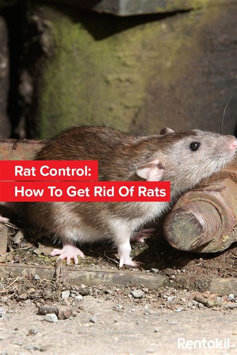 best way to get rid of rats 28 images best way to