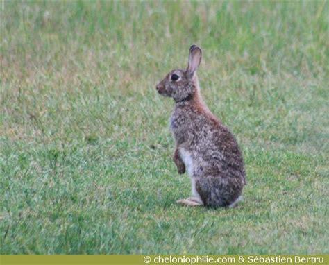 les photos du lapin de garenne