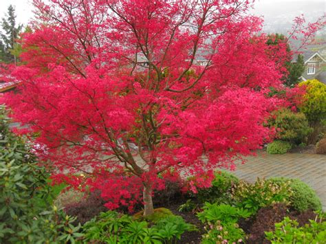 maple tree pros and cons japanese maples varieties bicycle gardening chronicles astonishing ly pink japanese