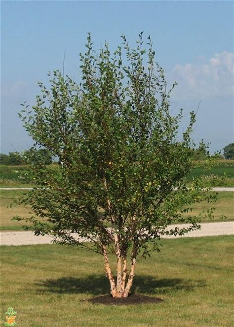 6 ft birch cluster tree river birch trees for sale the planting tree
