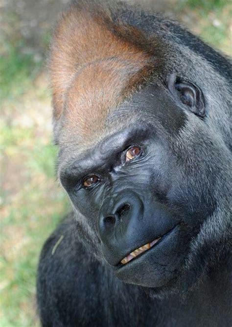Monkey Jugle 9471 655 best images about gorillas on