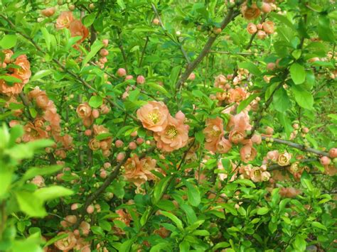 flowering quince shrub a of a shrub flowering quince cameo
