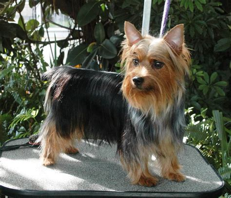 haircuts for yorkshire terriers with silky hair australian terrier haircuts australian terrier haircut