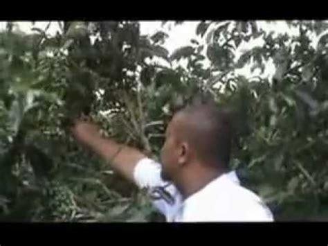 Pupuk Cair Grow More kopi dengan aplikasi di grow luarr biasa