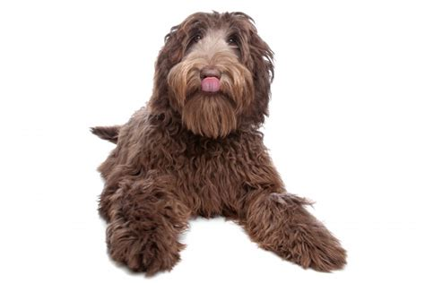 doodle puppy reviews 8 great things about owning a labradoodle nuvet labs
