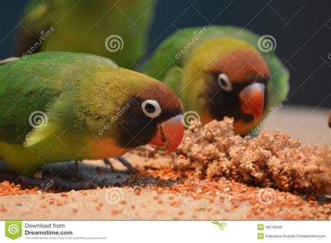 black cheeked lovebirds agapornis nigrigenis stock photo
