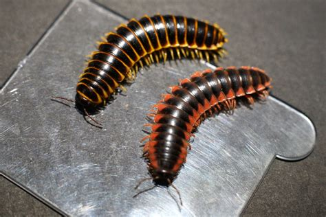 tiny millipedes in house 100 tiny centipedes in house occasional invaders