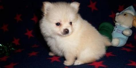 teacup pomeranian for sale sydney tiny teacup pomeranian puppies for sale 500 business services pet services brisbane