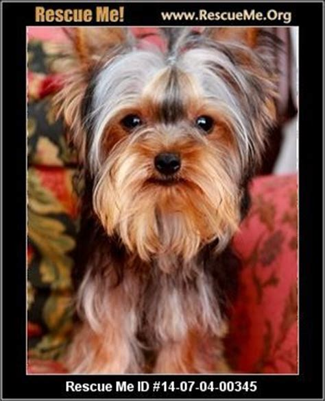yorkie rescue shelters 154 best images about yorkies who needs a home on gilbert o sullivan